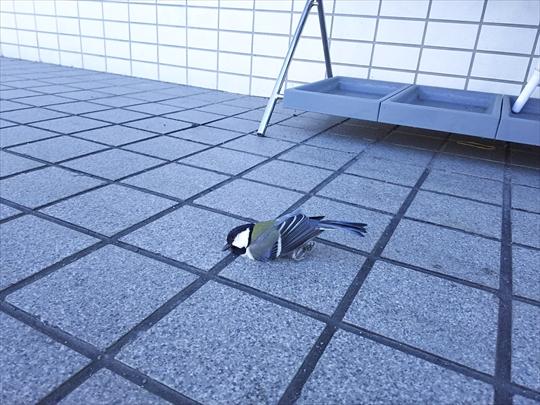シジュウカラ落ちてたファミマ (2).JPG
